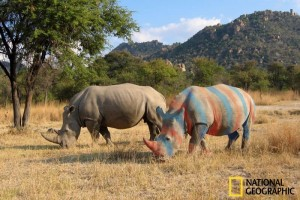 Striped Rhino